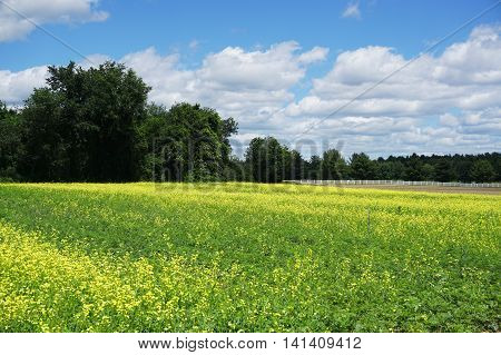 canola blooming in the farm field in spring
