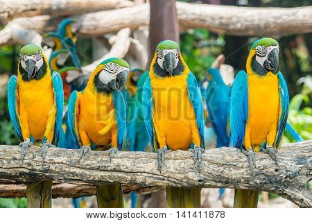 Four blue and yellow macaw birds sitting on wood branch. Colorful macaw birds in forest.