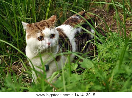 Frightened pedigreed cat with a breast-band walking in the grass