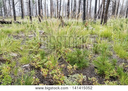 mountain pine forest recovering after wildfire, Roosevelt National Forest near Fort Collins, Colorado