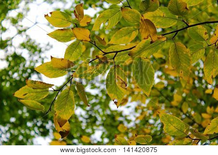 Leaves changing color from a green to yellow hue in July, vibrant and in focus. A changing of the seasons is looming in the distance.