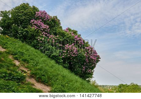 A beautiful bunch of lilac. Lilac Flowering. Lilac Bush Bloom. Carpathian Ukraine. about Old castle in Olesko.