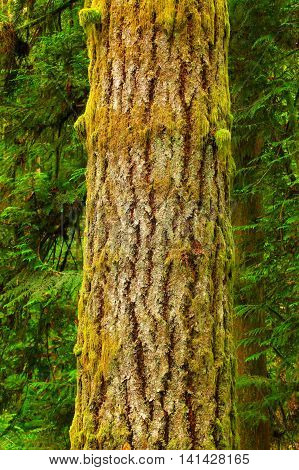 a picture of an exterior Pacific Northwest Hemlock tree with moss