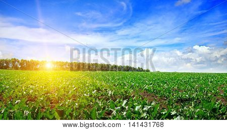 green beet field and sun on blue sky