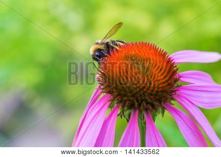 the big red flower closeup on an indistinct green background and a little insect a bumblebee creeps on a flower