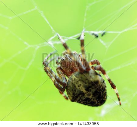 Crowned Orb Weaver On Its Web