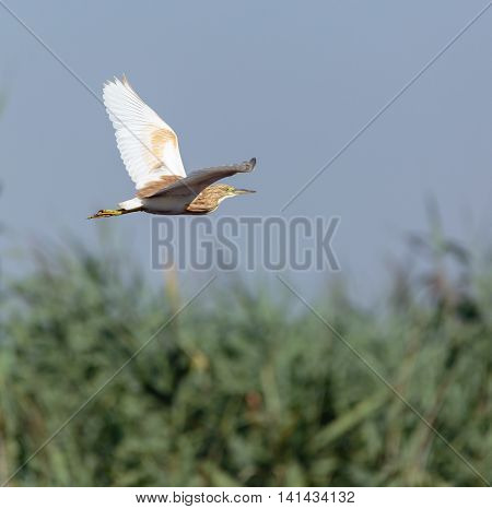 Yellow Heron In Flight