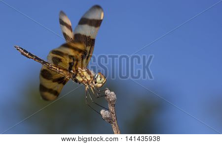 Eggs clinging to an orange dragonfly resting on a branch