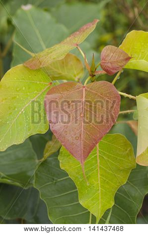 Bodhi Tree Red Leaf drop of water close-up