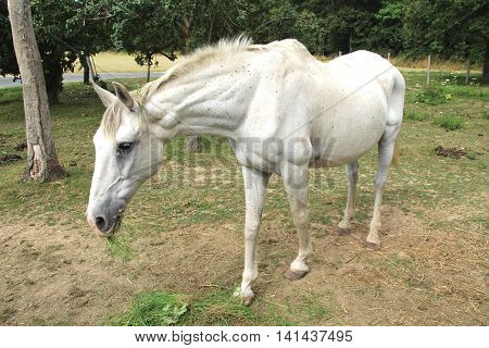 a white horse grazing in a pen