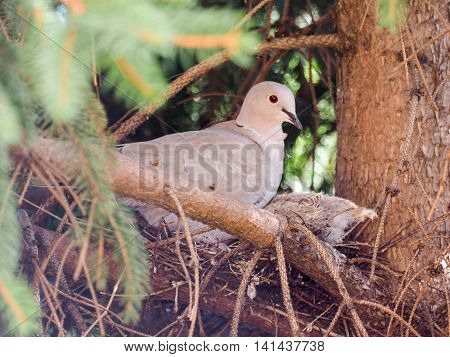 Eurasian Collared Dove Bird Animal
