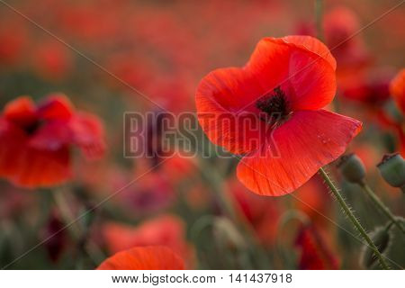 red poppies against the bright field of poppies