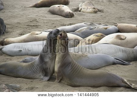 Two male elephant seals rivaling on crowded beach of Piedras Blancas, California