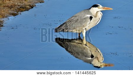 Grey Heron standing in a pond and waiting for prey