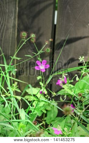 Little lilla flower near black fence at sunny summer day
