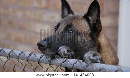 Male Belgian Malinois peering over fence outside.