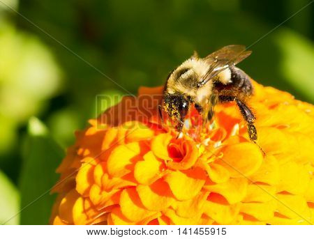 honey bee on orange yellow flower right side dominate late summer with pollen sacs on legs 2