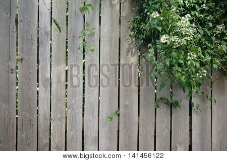 A ivy plant growing over a wood plank fence.
