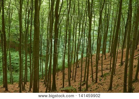A forest of beech grows in a narrow valley.