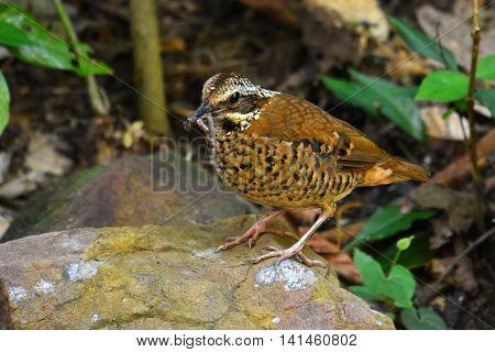 Eared Pitta Bird