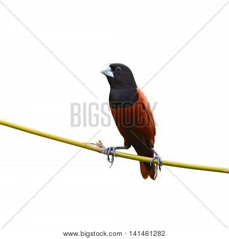 Black Headed Munia Bird