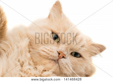 close up portrait shot of a pet cat not really looking all cute and cuddly more like it's seen something it wants