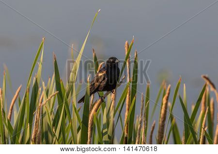 a red-winged blackbird perched on a cattail