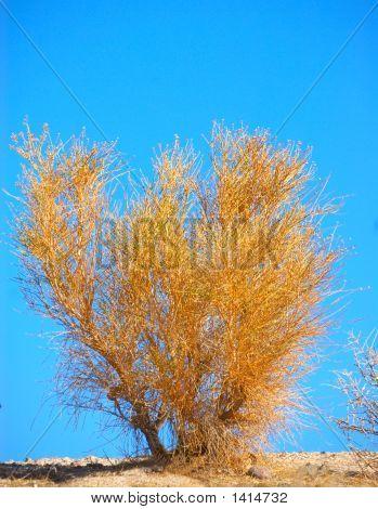 California Sagebrush - Artemisia Californica