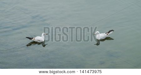 Free swimming two seagulls in shallows of the river gloomy day
