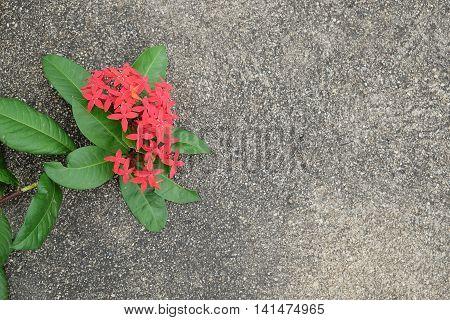 Red ixora heart shape on concrete floor