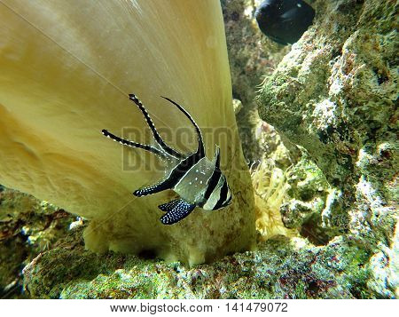 Banggai cardinal fish , aquarium marine fish