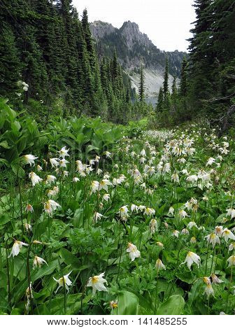 Alpine scene with Avalanche Lilies in the foreground