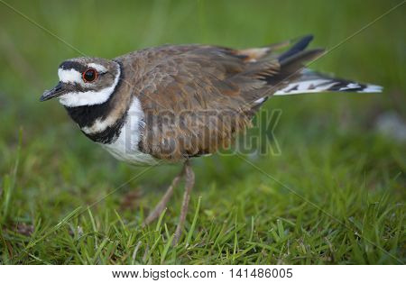 With a nest and eggs in the background a killdeer stays on watch