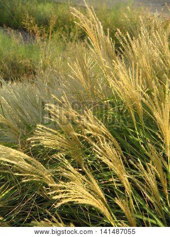 Graminias. Plantas  ornamentales con bonito color dorado. park of the Wather. Zaragoza. Spain.