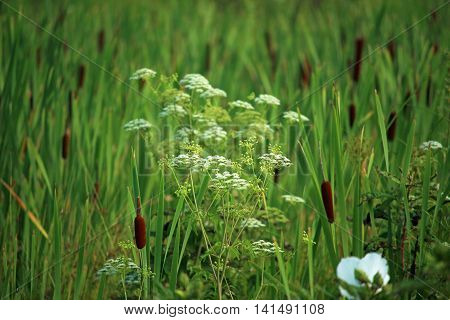 The toxic white flower plant called spotted water hemlock (cicuta maculate) among a bed of cattails (typha).