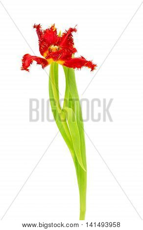 beautiful flowe tulip on a white background