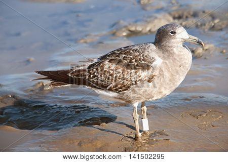 Bird Seagull fising craps in the lagoon