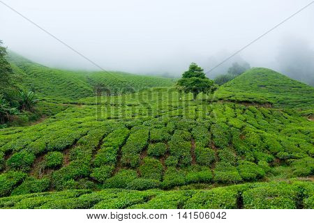 View of tea plantations covered by fog in Cameron Highlands Malaysia.