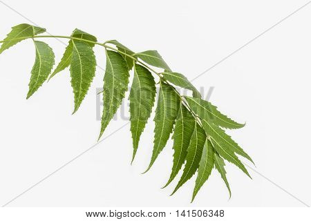 Neem twig with leaves on a white background