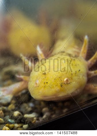 Fish Asiatic Salamander In The Aquarium Glass.