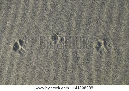 The Tracks Of A Brushy-tailed Possum In Light Sand Along The Pacific Ocean In New Zealand.