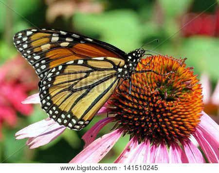 Monarch butterfly in garden on bank of the Lake Ontario in Toronto Canada August 2 2016
