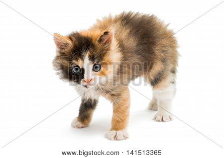 little kitten baby animal on white background