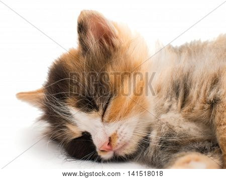 one little kitten animal on white background