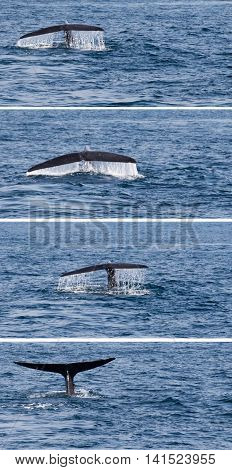 Tail Humpback Whale Fluke Up Dive In The Water