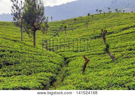 Plantations Green Tea Fields
