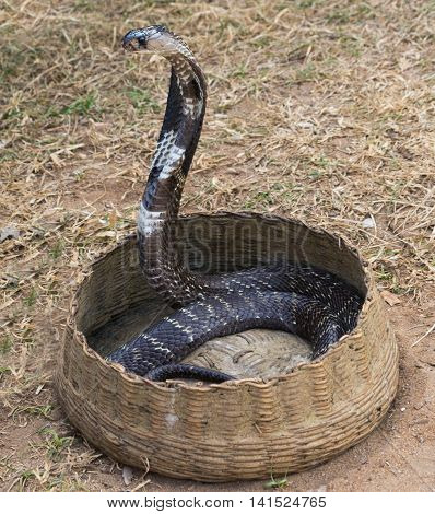 King Cobra Snake Charmer summer wild vacation