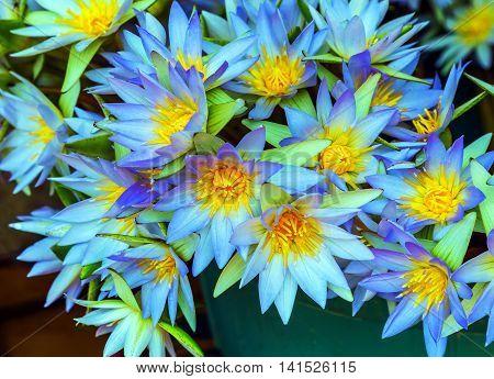 lotus yellow flower petal buddhism background natural leaf head summer