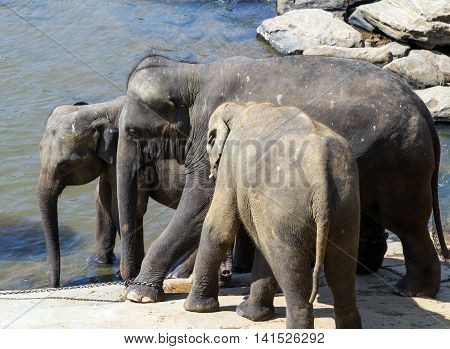 elephant summer in river Sri lanka. Preview Summer holidays, Vacation concept.