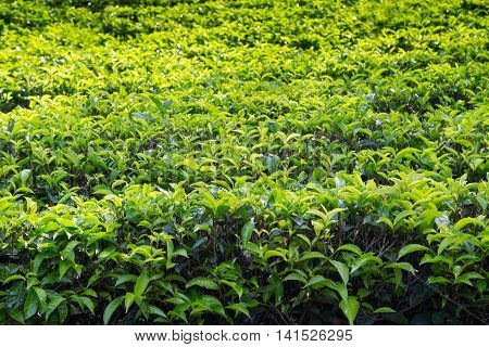 Fields of Ceylon tea Plantation in Sri Lanka. Preview Summer holidays, Vacation concept.